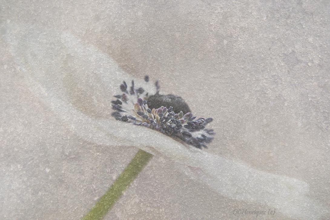 Anemoon - Dank jullie voor de fijne reacties bij mijn vorige opname. - foto door Dodsi op 25-02-2020 - deze foto bevat: bloem, bewerkt, bewerking, anemoon, creatief, textuur, wallpaper