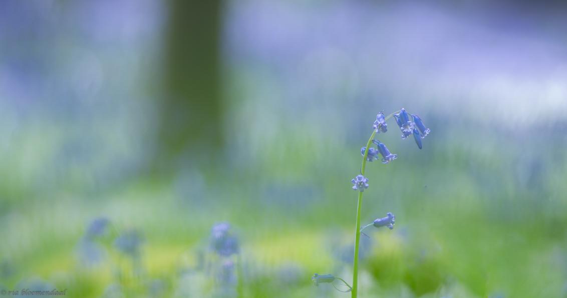Hallerbos - In april deze foto gemaakt in het Hallerbos. Bedankt voor jullie reacties op mijn vorige upload. - foto door riabloemendaal op 23-05-2018 - deze foto bevat: paars, blauw, lente, hyacint, hallerbos