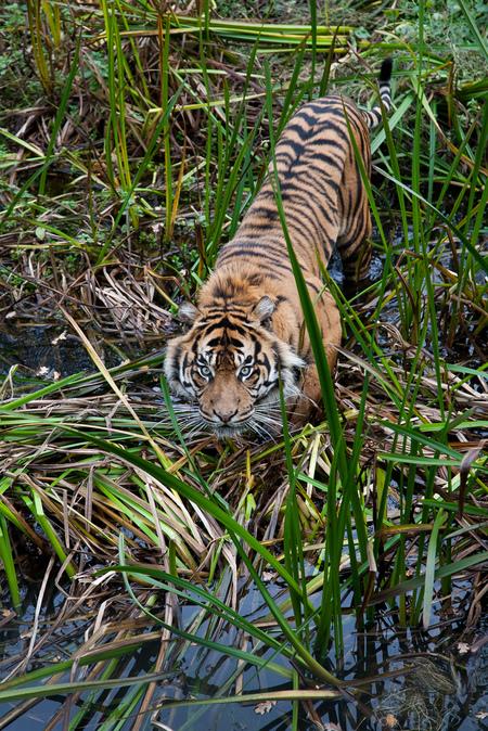 Sumatraanse Tijger Burgers' Zoo - 20121020-_MG_9188.jpg - foto door Theokruse op 21-10-2012 - deze foto bevat: dierentuin, poes, tijger, Burgers'Zoo