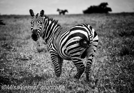 Ethiopie zebra