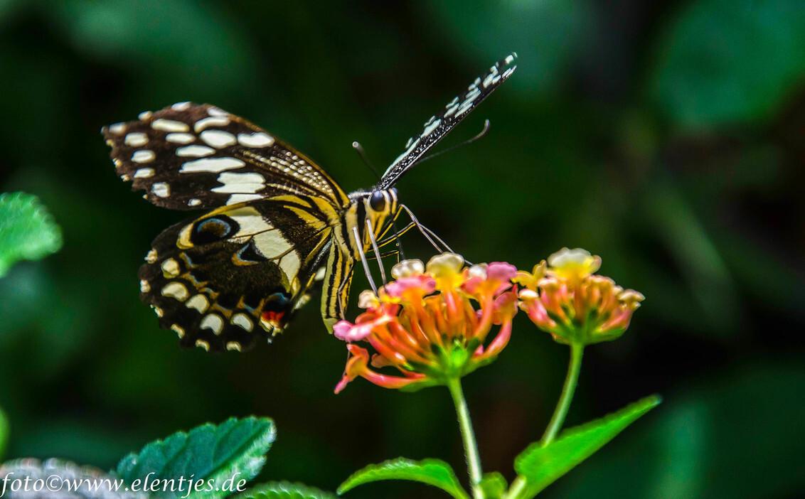 vlinder 7 - uit de vlindertuin Gemert waar de klant nog overspoeld wordt met info als men dat wil. Geert de beheerder is alle dagen aanwezig in de tuin om info  - foto door eugene-fotografie op 07-01-2018 - deze foto bevat: vlinder
