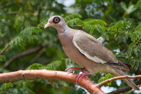 Naaktoogduif (Curaçao) - - - foto door gras4711 op 24-02-2015 - deze foto bevat: natuur, dieren, safari, vogel, duif, amerika, wildlife, curacao, cariben