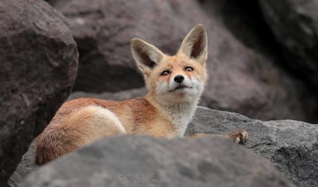 Fox on the rock's
