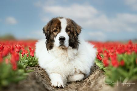 Hond in de tulpen - Onze Tornjak Sultan in een tulpenveld - foto door AnnetteHagemeijer op 08-04-2021 - locatie: Noordoostpolder, Nederland - deze foto bevat: hond, huisdier, tulpen, bollen, tulpenveld, dieren, tornjak, berghond, lente, bloemen, bloem, fabriek, hond, lucht, carnivoor, hondenras, wolk, gras, metgezel hond, snuit