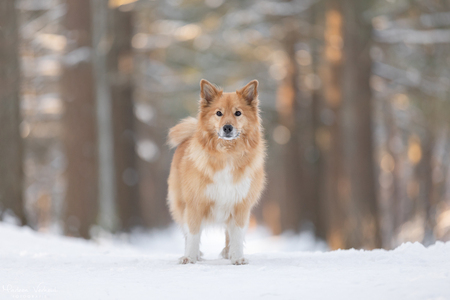 Bryja in de sneeuw - Bryja en ik hebben enorm genoten van de sneeuw.. - foto door MarleenVerheulFotografie op 15-02-2021 - deze foto bevat: dieren, huisdier, hond, hondenfotografie, hondenfotograaf
