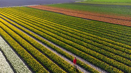 Tulpenvelden in de noordoostpolder