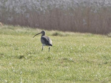 Wulp 26-2-21 - Op de fiets door de polder vroege Wulp vastgelegd - foto door jango50 op 26-02-2021 - deze foto bevat: natuur, winter, vogel, landschap, polder, friesland, fotografie