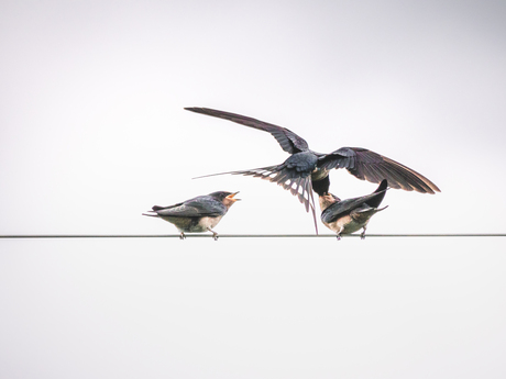 Swallows in action