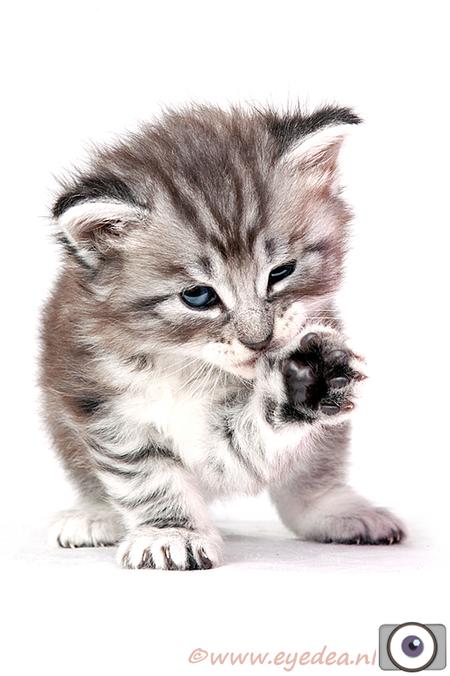 Noorse Hiske - Dit is een Noorse Boskat kitten van een paar weekjes oud.... - foto door Anita Eye Dea op 26-07-2011 - deze foto bevat: kitten, poes, huisdier, kat, studio, anita, dierenfotografie, huisdierfotografie, huisdierenfotografie, eyedea, noorse boskat, eye dea, kattenfotografie, hiske, Anita Giskes