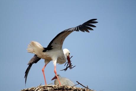 Ooiveaar is zijn nestje aan het bouwen