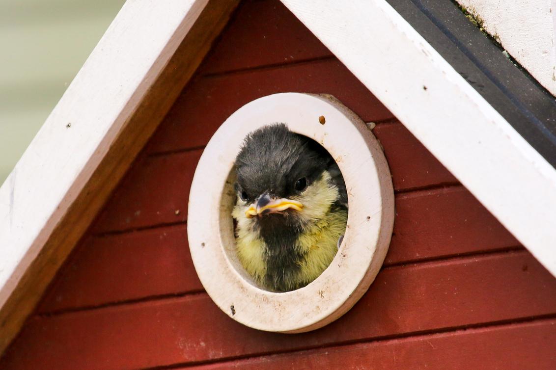 JannyP_IMG_2504_2 - Deze foto heb ik één dag voordat het Koolmeesje uit het nestje is gevlogen, gemaakt. Het nestje zat in het vogelhuisje bij ons in de tuin. Lens 100-4 - foto door JannyP op 22-05-2019 - deze foto bevat: natuur, vogel, koolmees, nestje, vogelnestje