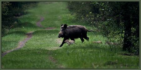 De eerste frislingen van 2010 - De eerste frislingen die ik dit jaar voor het eerst gezien hebt, weliswaar in een snelle oversteek achter moeders aan maar ben er vast van overtuigd  - foto door wildspotter op 31-05-2010 - deze foto bevat: wildzwijn, frislingen, frisling, wildspotter, moeder zeug