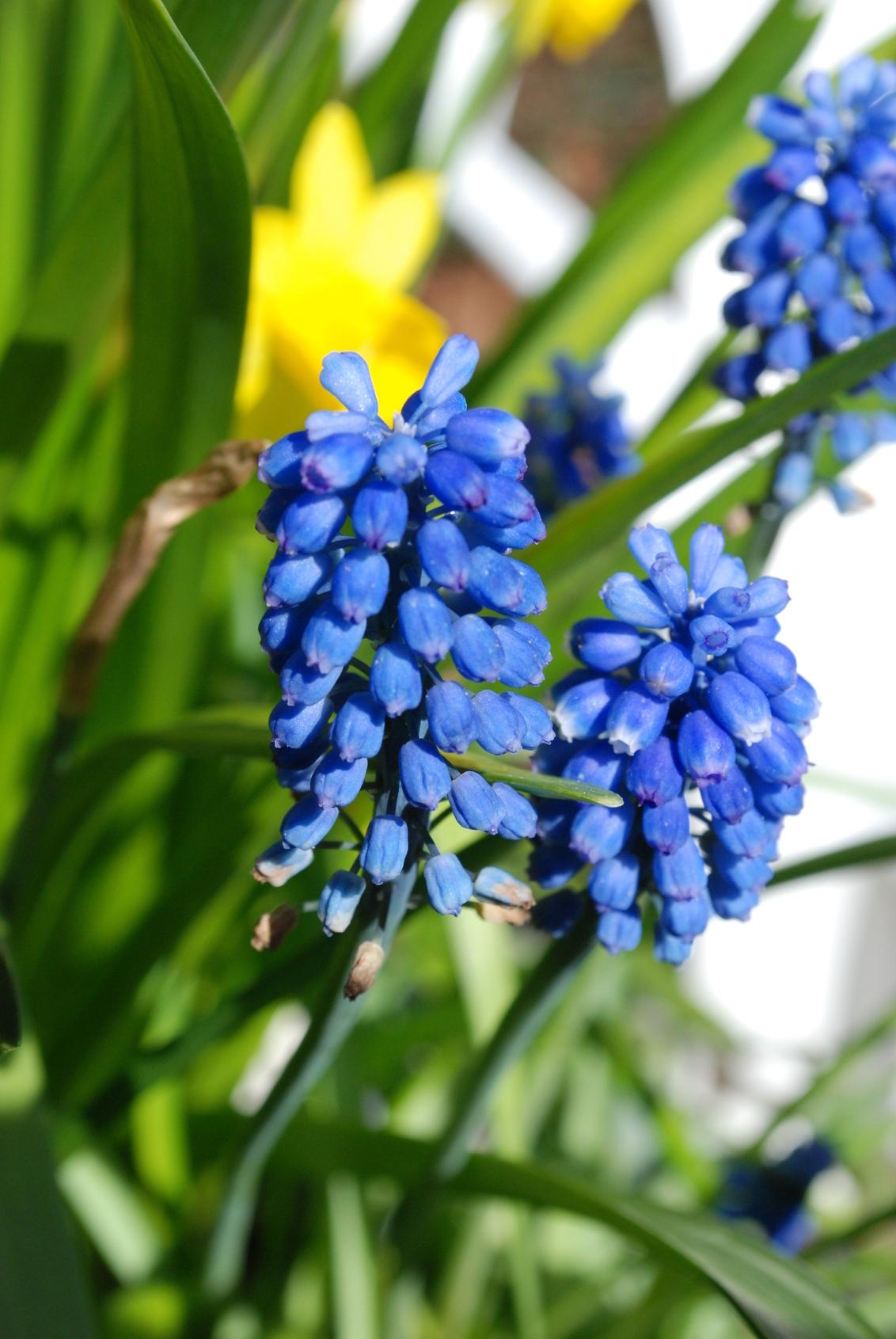 Blauwedruif - - - foto door RonnieRozema op 22-03-2009 - deze foto bevat: voorjaar