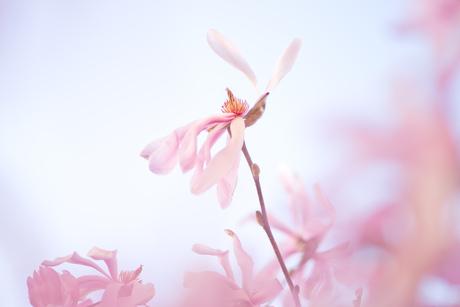 where magnolia grow . .