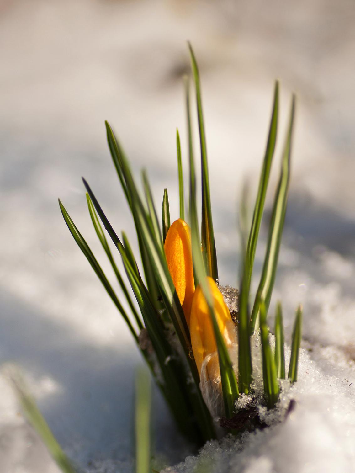 Krokusjes - Sneeuw? Hoezo sneeuw? Wij zijn krokussen en wij trekken ons van sneeuw niks aan !!! Er wordt van ons verwacht dat wij gaan bloeien en dat zijn wij o - foto door kosmopol op 10-02-2012 - deze foto bevat: bloem, sneeuw, krokus, bloei, kosmopol