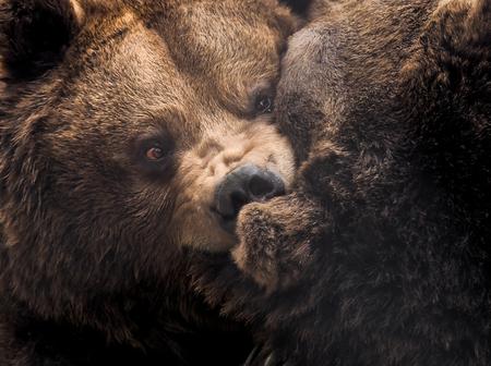 Berenknuffelen 2 - Als pa beer afgewezen wordt pikt ie het niet en neemt ie ma beer flink te grazen maar uiteindelijk snapt ie wel dat hij zijn doel zo niet bereikt en  - foto door PhotoMad op 17-04-2019