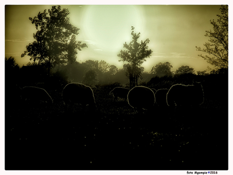 Morning sheeps