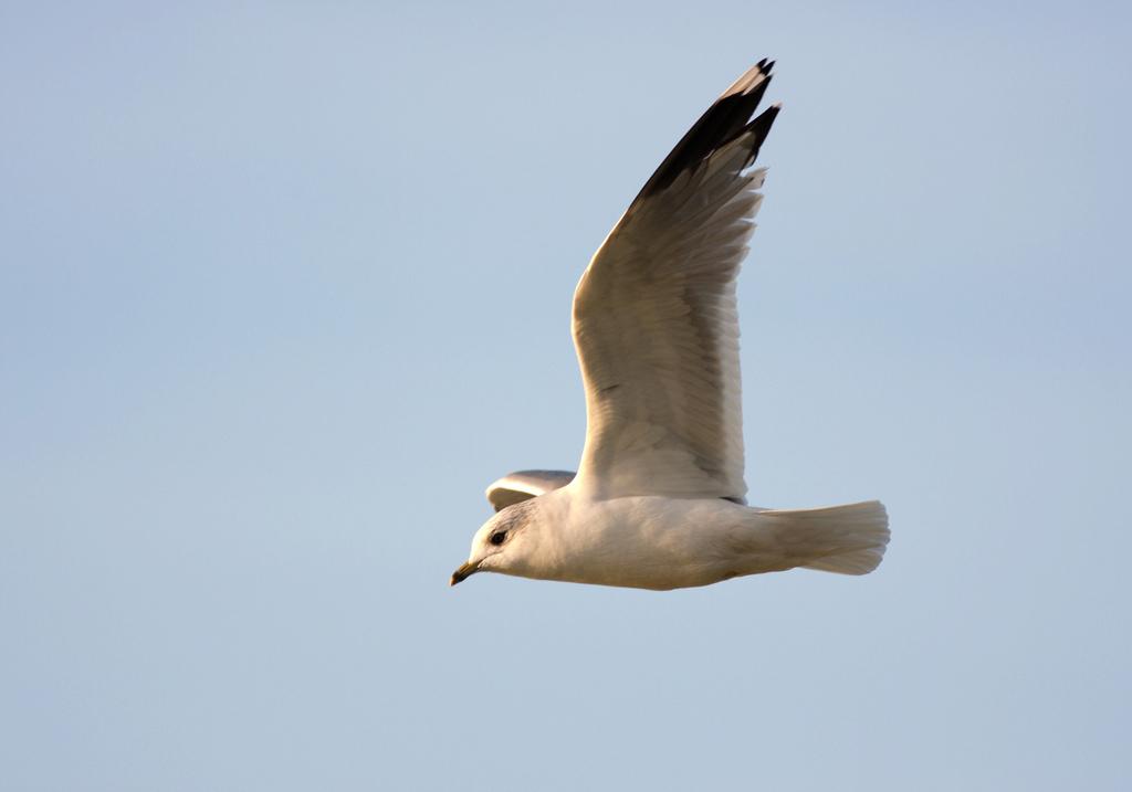 No vis - Balen was het gisteren voor me, ik kon geen mooeie winterfoto krijgen, Ben ergens naar toe geweest wat me tegen viel,.  Toen maar mijn rondje gedaa - foto door sambikkeltje op 09-12-2012 - deze foto bevat: zeemeeuw