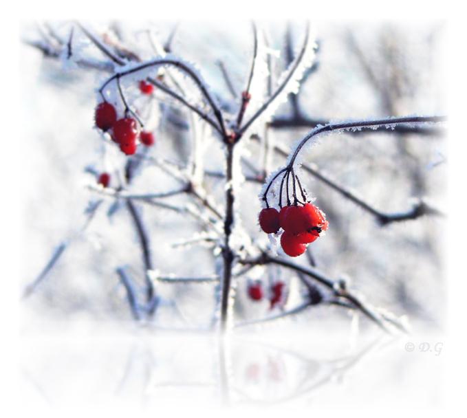 Cold Red - - - foto door daniel44 op 20-02-2008 - deze foto bevat: rood, wit, natuur, rijp, ijs, koud, tak, bes, daniel44