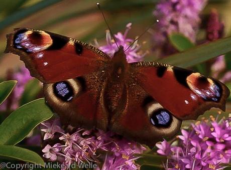 Vlinders....