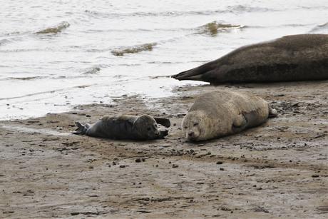 Kraamvisite :) bij de gewone zeehond!