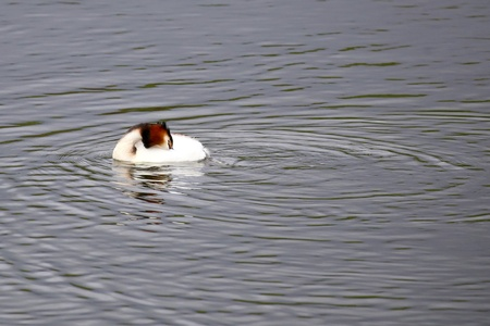 Fuut - Maakt de buik schoon - foto door Ebben op 11-04-2021 - deze foto bevat: water, vogel, vloeistof, bek, vloeistof, watervogels, meer, eenden, ganzen en zwanen, watervogel, natuurlijk landschap