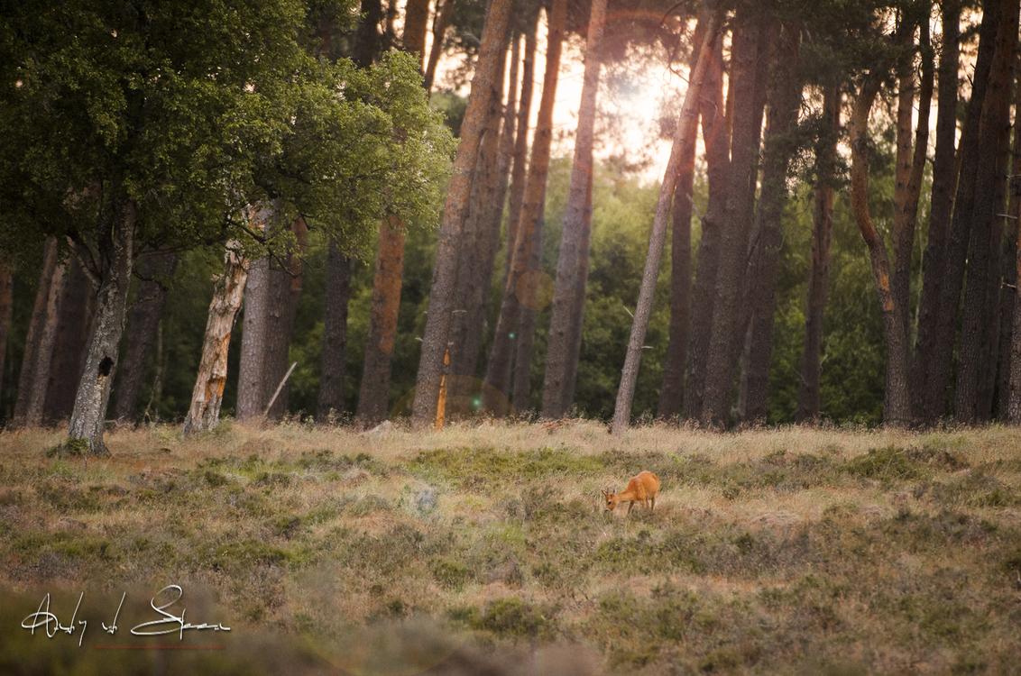 ree - - - foto door AndyvdSteen op 30-08-2020 - deze foto bevat: ree, reeen, reetjes, reetje, hogeveluwe, Park de Hoge Veluwe, Nationaal park de hoge veluwe, nationaalparkhogeveluwe, nationaalparkdehogeveluwe, parkdehogeveluwe, parkhogeveluwe