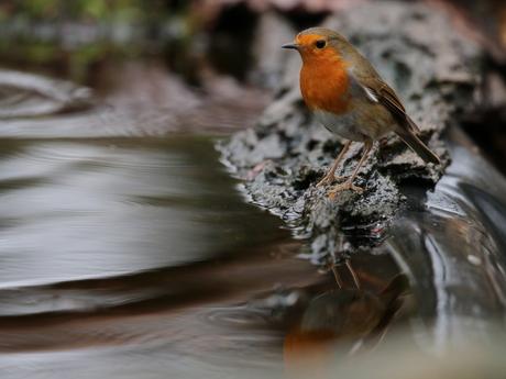 roodborstje aan het water