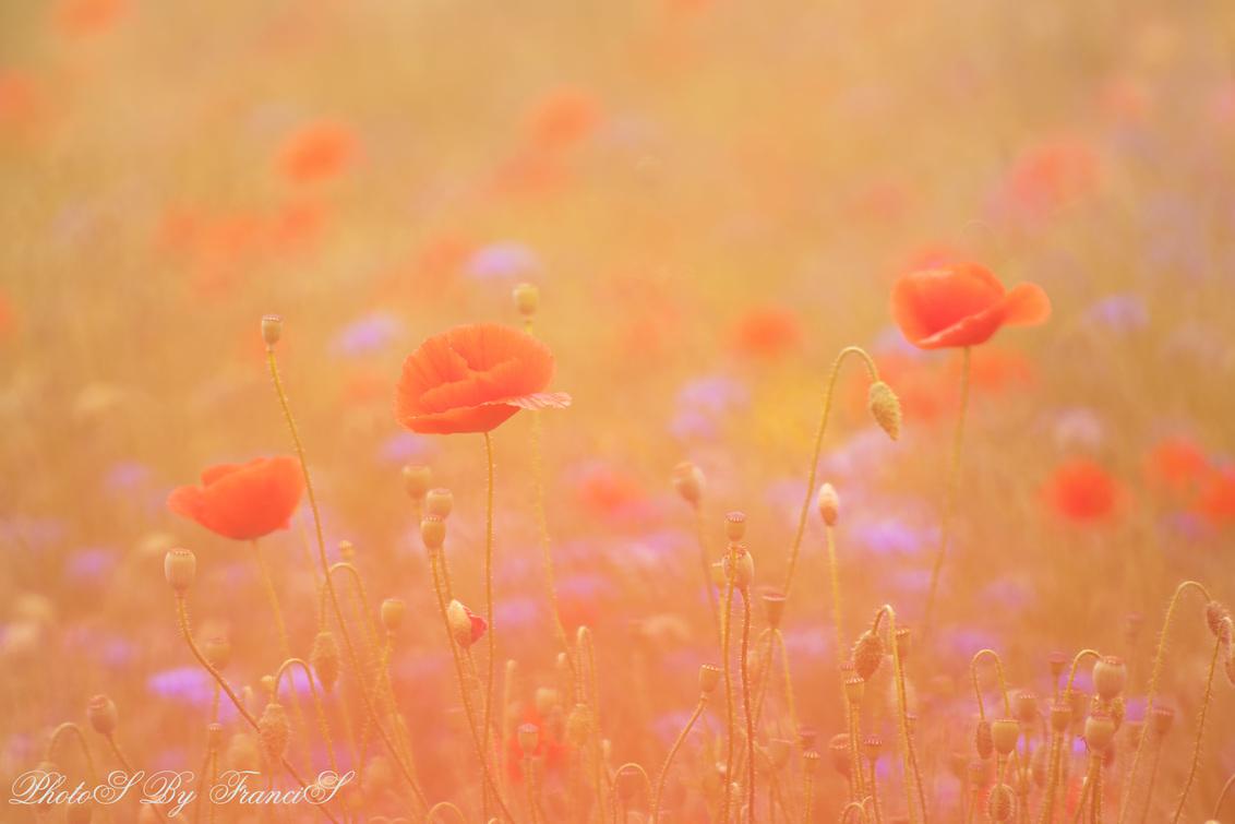 Klaprozen - Vorig jaar heb ik een prachtig veld vol met klaprozen en veel andere wilde bloemen ontdekt. Dit is een speciaal project opgezet door de gemeente om i - foto door Francis-Dost op 22-05-2018 - deze foto bevat: macro, bloem, lente, natuur, klaproos, nederland