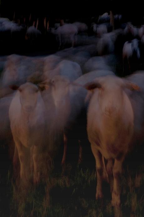 schapen in de avond
