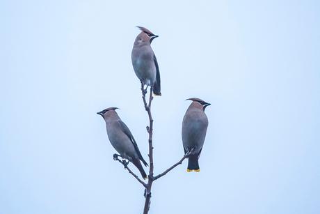 Pestvogels 2