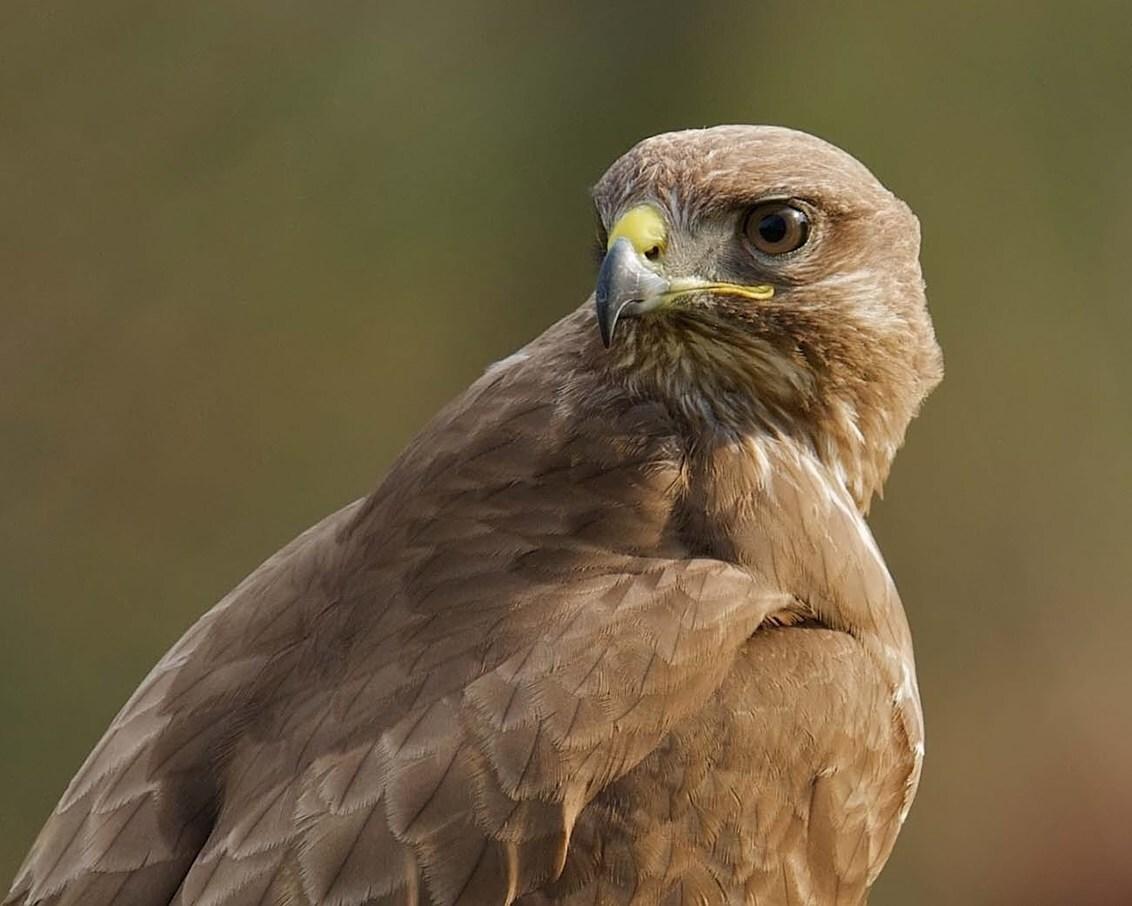 Kijk eens even om - Roofvogels blijf ik altijd prachtig vinden , en daarom fotografeer ze ook bijzonder graag .....   deze opname is gemaakt in 2015 met mijn SONY G SSM - foto door jzfotografie op 10-04-2017 - deze foto bevat: kleuren, bruin, geel, licht, dieren, oog, roofvogel, nederland, achtergrond, contrast, snavel, scherpte, omkijken, vogelshow, egaal, verenkleed, close up, Noord Holland