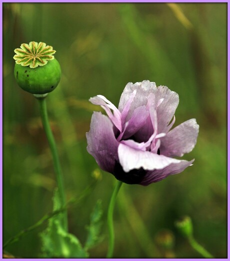 Papaver in lila