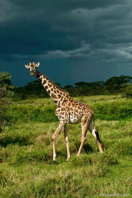 Masai giraffe (Giraffa camelopardalis tippelskirchii)