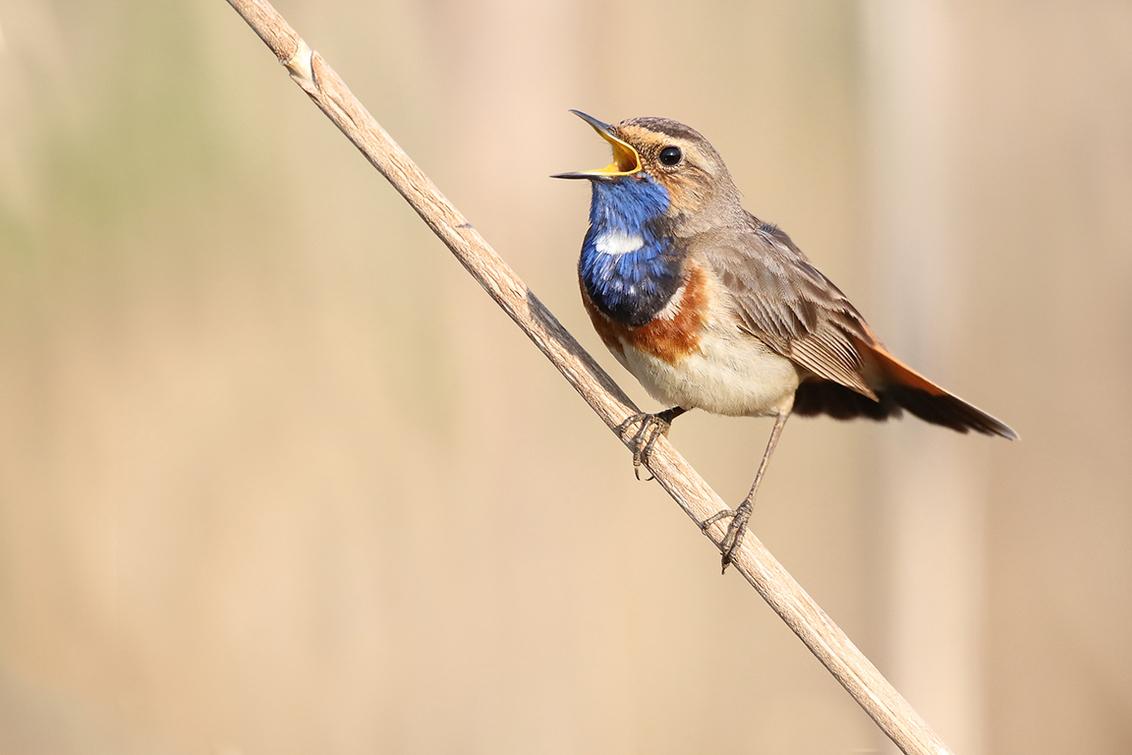 Blauwborst - Blauwborst aan het zingen. - foto door ErikV74 op 28-04-2020 - deze foto bevat: water, natuur, dieren, vogel, blauwborst