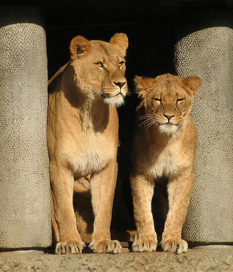 Twee schattige leeuwen
