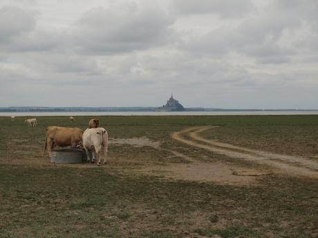 Mont Saint Michel met koeien