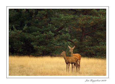 Bronst 2009 - Eentje van afgelopen middag.  bedankt voor jullie reacties.  Groetjes JAn - foto door Jan_koppelaar op 19-09-2009 - deze foto bevat: natuur, veluwe, dieren, herten, hindes, bronst