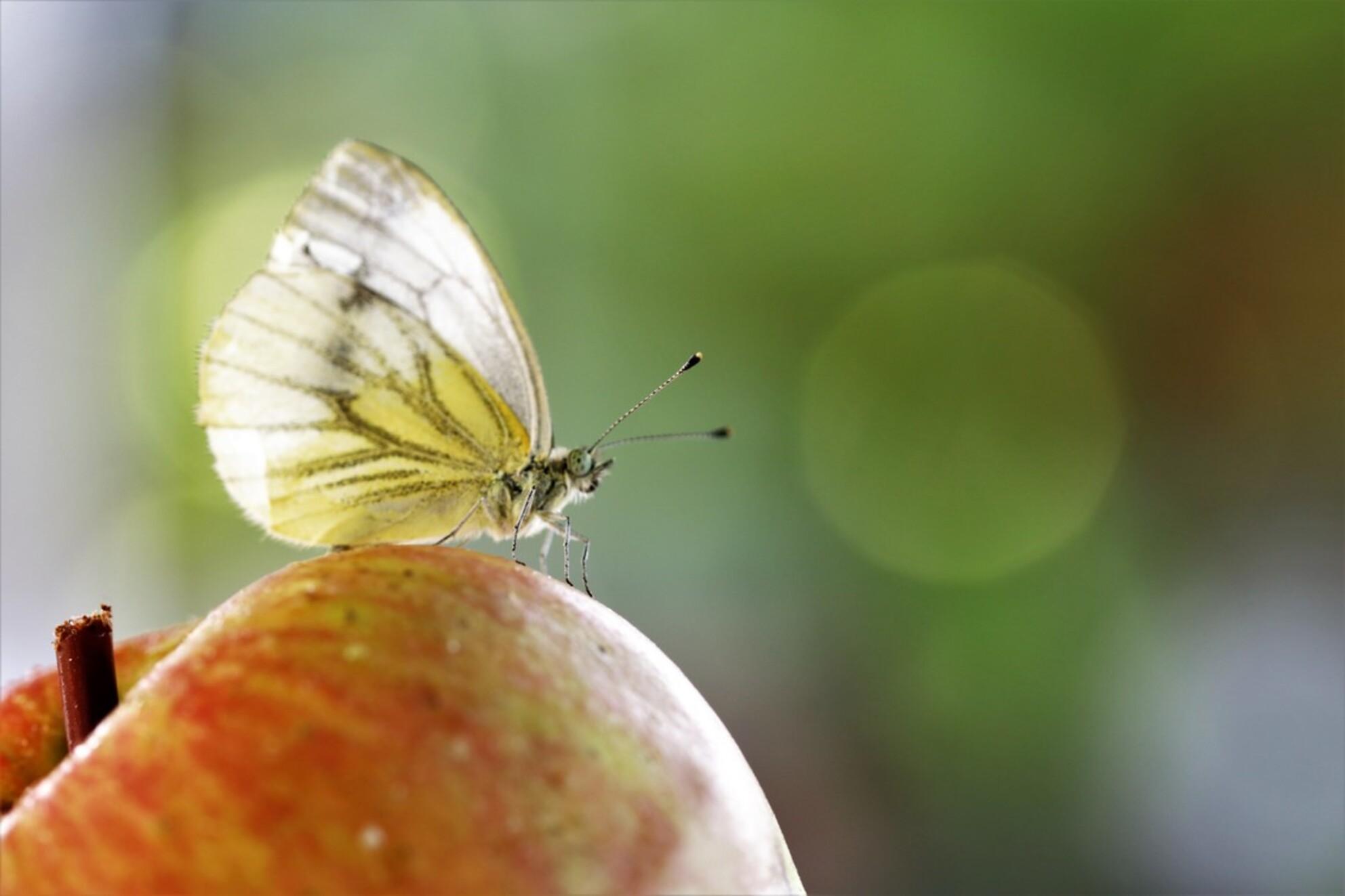 appeltje vlindertje - vlinder op een appel in de tuin  16-8-2020 - foto door mieke58 op 16-08-2020 - deze foto bevat: groen, rood, macro, wit, natuur, vlinder, bruin, druppel, geel, oranje, tuin, appel, zomer, insect, dauw, dof, bokeh - Deze foto mag gebruikt worden in een Zoom.nl publicatie