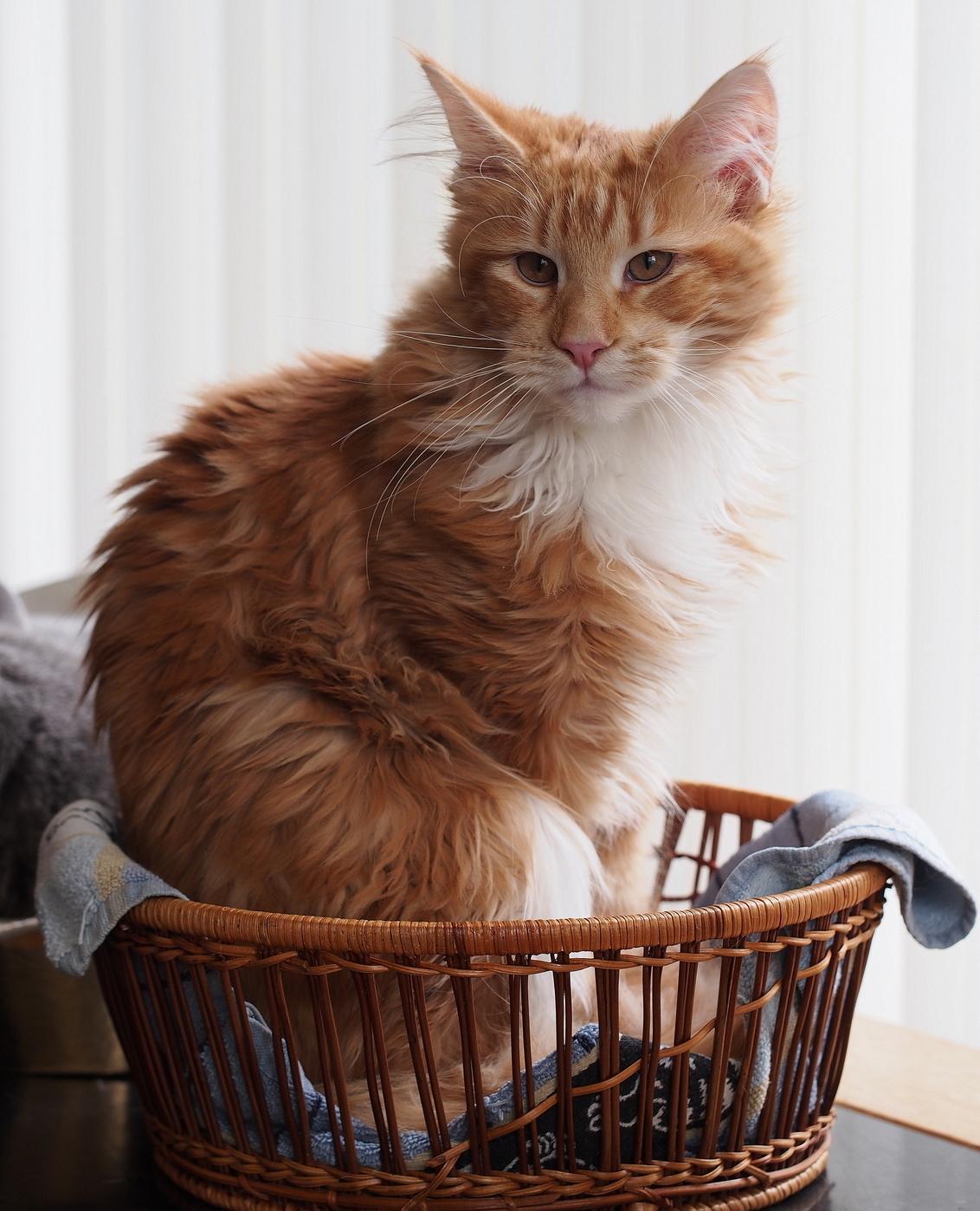 Kleine Knor.... - Bijdehand....lief ..Vince, Net wakker ...nog in zijn bedje - foto door pietsnoeier op 07-01-2016 - deze foto bevat: kitten, natuur, dieren, kat, vince, mainecoon