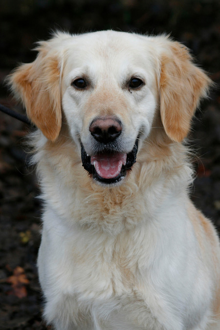 Smile - Dit is een asiel hond bij mijn stage. - foto door kim_400D op 01-03-2009 - deze foto bevat: dieren, hond, golden, retriever, kim-400d