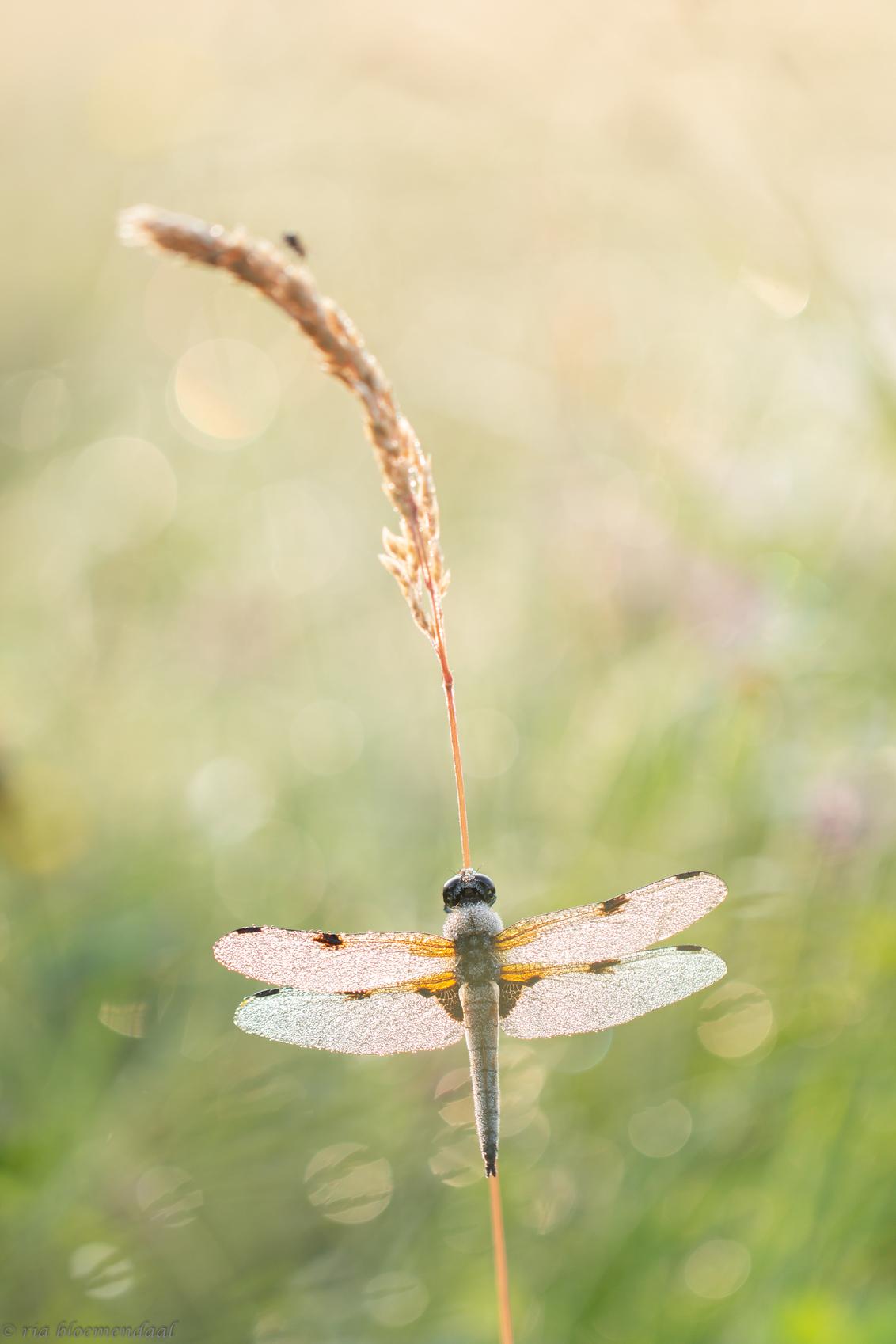 viervleklibel - Heerlijke tijd om dit moois `s morgens vroeg weer vast te kunnen leggen.  Bedankt voor jullie reacties op mijn vorige foto van het Hallerbos. - foto door riabloemendaal op 07-06-2018 - deze foto bevat: macro, lente, libel, dauw, bokeh