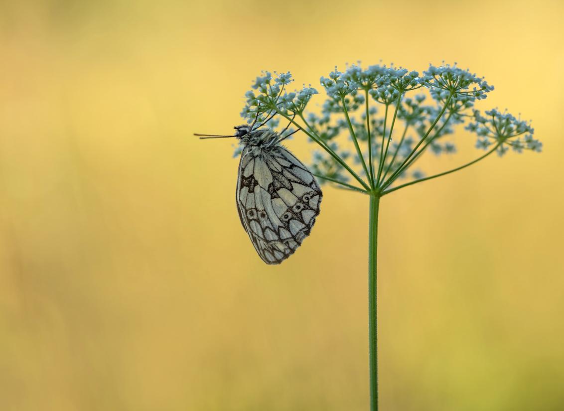 nature's experience - Niet ver van ons vakantieadres is een aantal mooie velden. Wat is het dan toch heerlijk om er in alle vroegte op uit te trekken en de schoonheid van  - foto door arjovandijk op 13-02-2019 - deze foto bevat: macro, natuur, vlinder, dof, dambordje, bokeh, arjovandijk