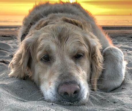 Hond tijdens de zonsondergang op het strand.