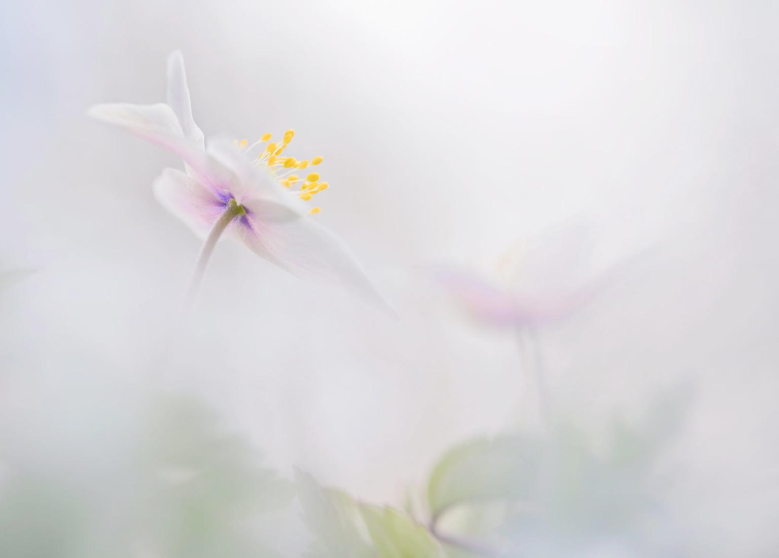 bosanemoon - vorig weekend ben ik naar mijn vertrouwden plaatsje gegaan,opzoek naar de bosanemonen deze foto is er een van,gemaakt met de Laowa macro lens 60 mm   - foto door loeffen_zoom op 10-04-2021 - deze foto bevat: bloem, fabriek, bloemblaadje, terrestrische plant, takje, pedicel, kruidachtige plant, bloeiende plant, gras, macrofotografie
