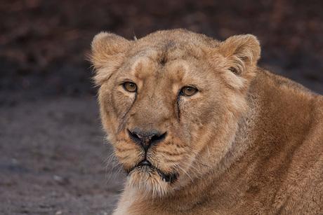Aziatische leeuwin