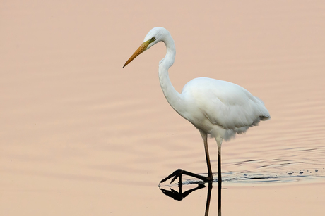 The Great Egret strikes again ...