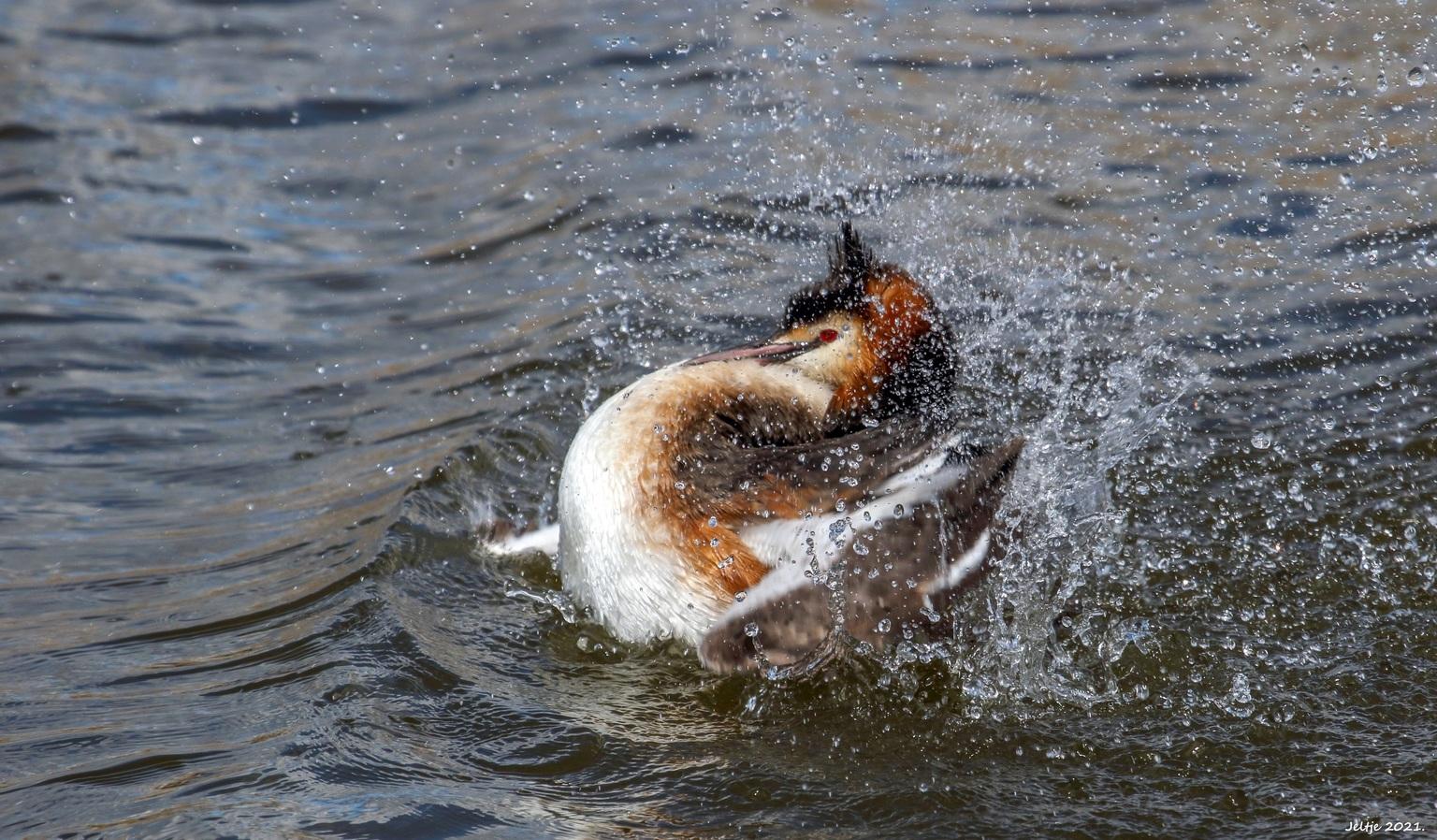 Fuut. - Fuut. - foto door ikjel op 12-04-2021 - deze foto bevat: water, vloeistof, vloeistof, meer, eenden, ganzen en zwanen, watervogels, watervogel, bek, dieren in het wild, zeevogel
