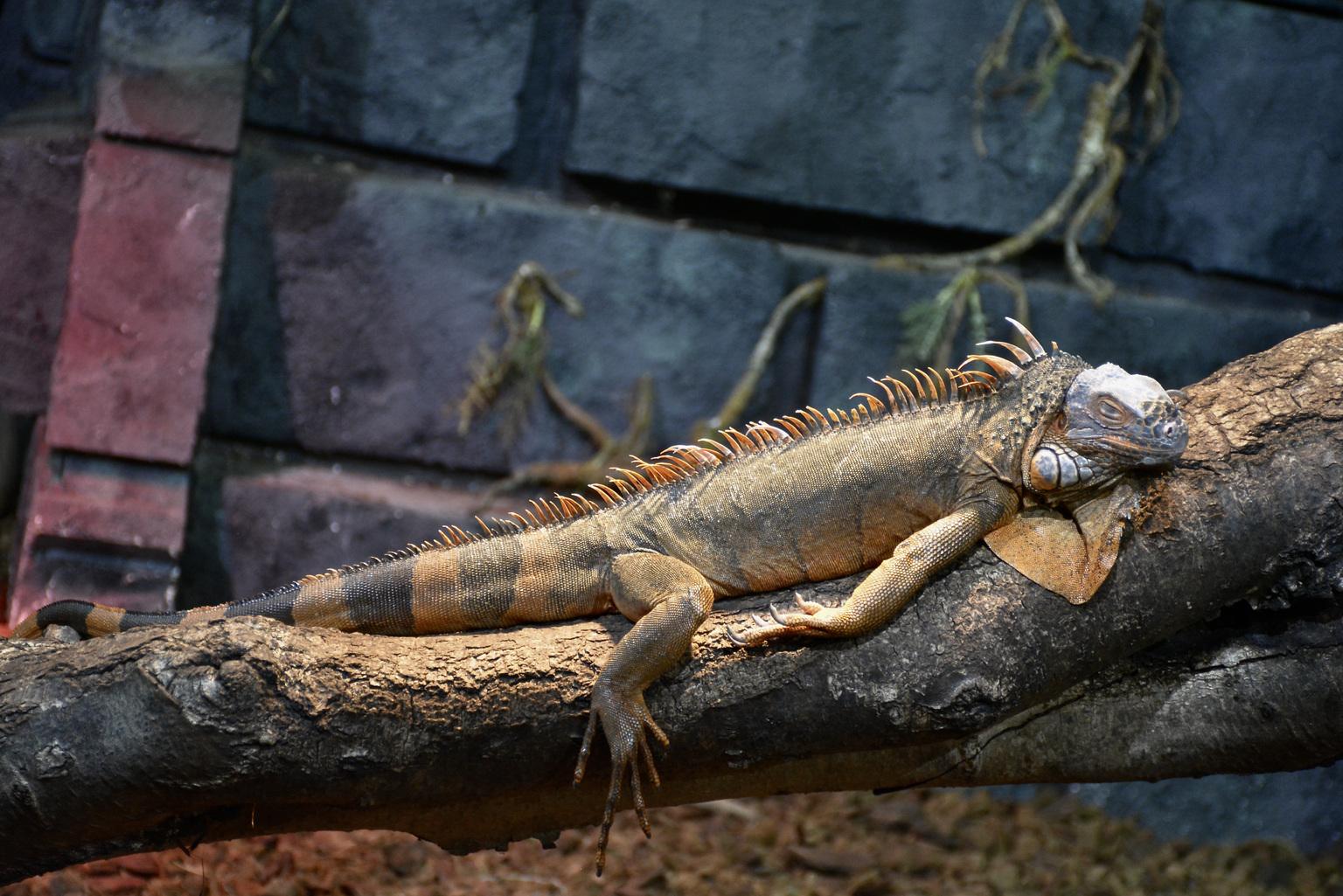 Kameleon  - Pairi-Daiza - foto door winnybiets op 05-05-2021 - locatie: Brugelette, België - deze foto bevat: oog, reptiel, leguaan, hagedis, geschaald reptiel, terrestrische dieren, hout, leguanen, staart, leguaan