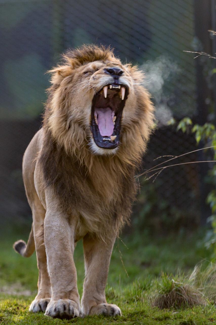 De leeuw die brult - - - foto door fonsmm_zoom op 23-12-2016 - deze foto bevat: dieren, safari, leeuw, blijdorp